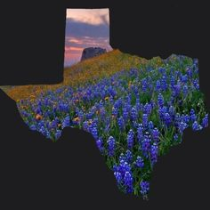 Bluebonnet season in West Texas West Texas, Texas Usa, Texas Hill Country, Frisco Texas, Cool Pictures, Beautiful Pictures, Only In Texas, Republic Of Texas, Texas Forever