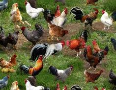 Chickens, never seen so many!