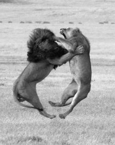This is nature: Its to bad they came to this, but she doesn't have a chance, they quit soon after. Lions when fighting each other don't fight till death. She gave up and he backed off.