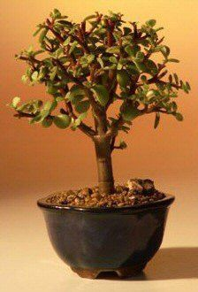 """Indoor Bonsai Trees - The World of Real Bonsai by Oxemegifts.com-This succulent bonsai, also known as the """"Elephant Bush"""", is native to South Africa and has pale green leaves that are almost round and about one-third the size of the common Jade plant. The fleshy trunk, branches, and leaves are used to store water. An excellent bonsai tree for the home or office.4 years old, 6"""" tall.Recommended bonsai treeSuitable humidity/drip tray is recommended."""