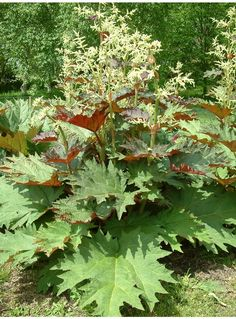 Rheum palmatum tanguticum: This scarce form has even larger leaves of more intense rosy-purple. It continues to produce new, freshly coloured leaves until late summer. Tall spires of tiny white flowers, early summer. Big Leaf Plants, Bog Plants, Shade Plants, Garden Plants, Bog Garden, Garden Oasis, Water Garden, Shade Garden, Rain Garden