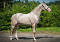 Akhal-Teke: the golden horse of the desert - Featured, Focus, Horse Breeds - Horsetalk.co.nz#.UgC_ZE8LpvI.facebook