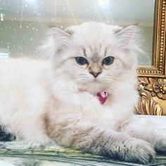 Persiankittenpals.com, creme with brown points , Bethany's baby Nala #persian kitten #cats #cute #pets