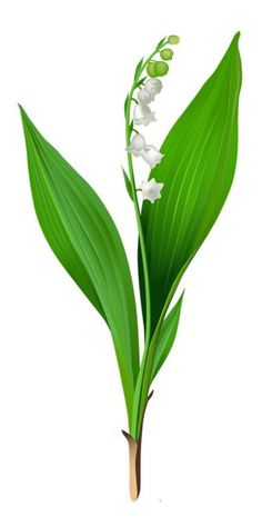 Spring Lily of the Valley PNG Clipart