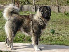 Kaukázusi juhászkutya: történelem, hagyományos, a természet és az egészségügy (+ fotók)