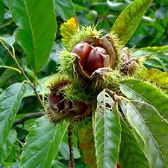 American Chestnut Tree http://www.tytyga.com/American-Chestnut-p/american-chestnut-tree.htm