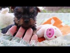ヨーキー子犬12/01生オス2号仔犬『まこ』 | 【york161201m002mama】a11