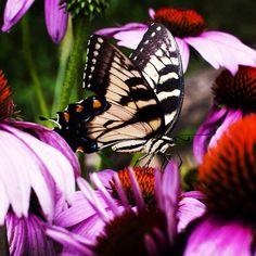 Blackberry Farm: A Zebra Swallowtail Butterfly on Purple Coneflowers