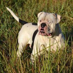 Nevabeta Chinese Checkers American Bulldog Puppies, American Bulldogs, Boxer Dogs, Boxers, Best Dog Breeds, Best Dogs, Bulldog Pics, Dog Yard, Bully Dog