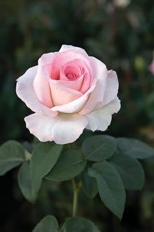 ****Pink Promise, Hybrid Tea an AARS winner ;) ** West wall and official rose of National Breast Cancer Foundation