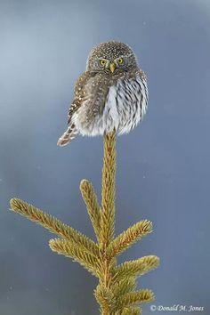 The Northern Pygmy Owl (Glaucidium gnoma). Pretty little birdie :-)