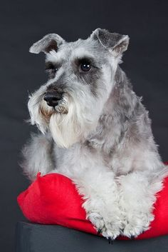 mini schnauzer.... Perfect, Loyal, and all around AWSOME dogs*❤