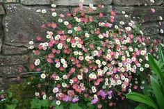 Erigeron karvinskianus (Mexican Daisy) is a graceful, trailing, woody-based perennial noted for its endless production of small daisies almost year-ro Seaside Garden, Coastal Gardens, Summer Garden, Perennial Grasses, Perennials, Buy Plants, Garden Plants, Garden Bed, Mixed Border