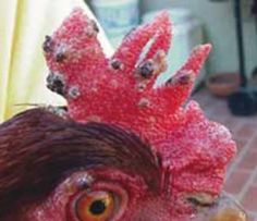 Chicken Oct 2