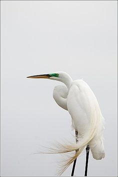 Great Egret                          Often standing motionless to await its prey in shallow water, the statuesque great egret, also known as the white heron, inhabits wetlands and shallow waters in many parts of South Carolina.