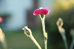 Summer, sunlight and flower  #flower #red #sunlight