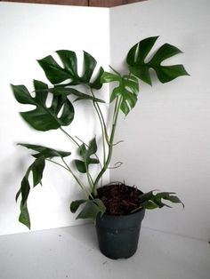 Philodendron Ginny