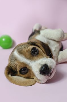 Beagle puppy named Dexter playing with a ball.  If you love beagles Like I do, check out our Facebook Group https://www.facebook.com/LoveMyBeagle