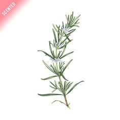 Rosemary (Scented) #Chef #Colorful #Cook