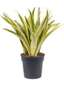 Sansevieria velvet touch 45 cm wurden die Spitzen in Farbe eingetaucht Wholesale Plants, Sansevieria Plant, Blue Succulents, Shops, Cactus Plants, Green And Grey, Palm, Module, Europe