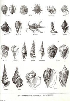 1923 Coquillages Encyclopédie Larousse planche illustrée originale Mollusques  encadrement scrapbooking décor marin 23 dessins de la boutique sofrenchvintage sur Etsy