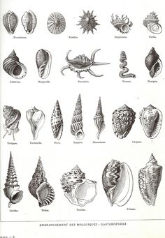 1923 Shells, Vintage French Encyclopedia, Larousse Original Shell plate…