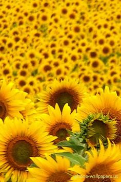Sunflowers-There was a time when these were all around me...including one that stays with me forever, my tattoo.
