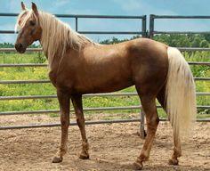 Young Missouri Fox Trotter stallion, Montizuma Gold.