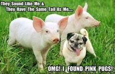 Omg I found pink pugs lol Animal Memes, Funny Animals, Cute Animals, Pugs And Kisses, Pug Puppies, Cute Pugs, Pug Love, Dog Memes, Animals