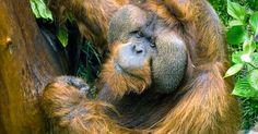 Um dos orangotangos gêmeos de zoo em Seattle morre aos 48 anos