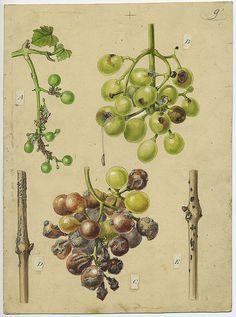 diseased grapes