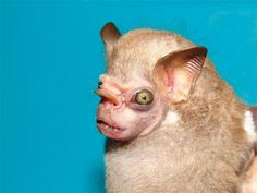 The Visored Bat (Sphaeronycteris toxophyllum) is named for the protrusion that sticks out over its grotesque snout.