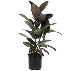 Rubber Plant: Our Best Tips For Growing and Care | Apartment Therapy