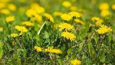 Tulpinile fragede de păpădie au efecte terapeutice extraordinare: curăță sângele și ficatul, întăresc oasele, remediază anemia, calmează durerile reumatice, Lawn Care Tips, Garden Planning, Fields, Dandelion, Herbs, Backyard, Plant, Patio