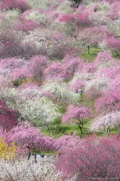 Inabe Plum Garden, Mie, Japan   Atsushi Mishina いなべ梅林公園