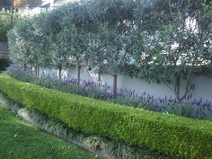 Pleached olive trees, underplanted with lavender and box hedge