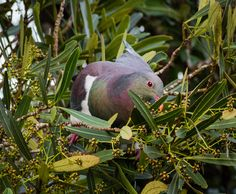 kereru (NZ pigeon) scoffing horoekaberries