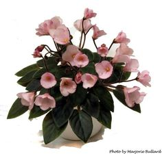 African Violet Jolly Gala - more like pink pansies than true bells but still cute, dark leaves, semi-mini.  Plants or leaves may be available.