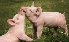 Would You Still Eat a Pig if You Knew it Was as Smart as Your Dog? PLEASE RE-CONNECT WITH NATURE. http://www.care2.com/causes/would-you-still-eat-a-pig-if-you-knew-it-was-as-smart-as-your-dog.html