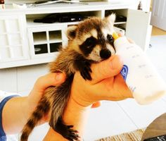green design, eco design, sustainable design, Rosie Kemp, adopted raccoon, pet raccoon, bahamas