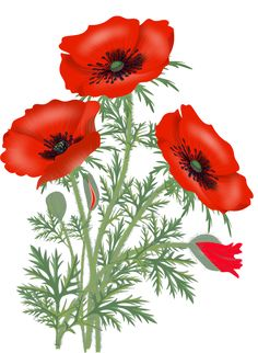 """Photo from album """"Цветочки"""" on Yandex. Watercolor Poppies, Red Poppies, Watercolor Paintings, Flower Drawing Images, Ariana Grande Drawings, Cute Wallpaper Backgrounds, Flower Pots, Beautiful Flowers, Plants"""