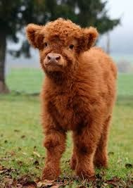 Scottish Highland cattle (Bos primigenius f. Cute Baby Cow, Baby Animals Super Cute, Cute Cows, Cute Little Animals, Cute Funny Animals, Baby Farm Animals, Baby Cows, Baby Animals Pictures, Cute Animal Pictures