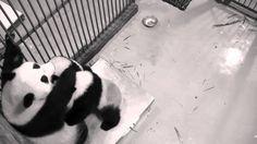 panda cubs nursing - YouTube