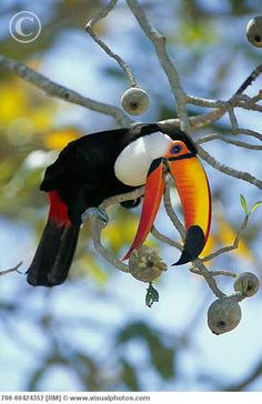 toucan eating, this brings a smile to my face. Tropical Birds, Exotic Birds, Colorful Birds, Pretty Birds, Love Birds, Beautiful Birds, Animals And Pets, Baby Animals, Cute Animals