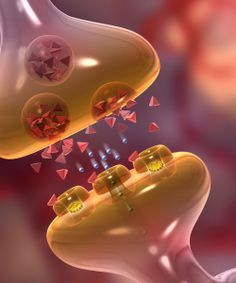 Neurotransmitters serve for synapes of nerve excitation  Brain Science, Medical Science, Life Science, Science And Nature, Brain Art, Brain Anatomy, Medical Anatomy, Human Anatomy And Physiology, Expo Sciences