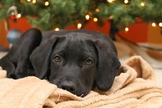A Christmas snapshot of  12 week old Caesar, a black lab beagle mix. Seen on Buzz, Boots and Berries.