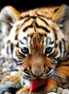 Oh my goodness I want a tiger so bad. I would donate it to a local zoo so it can live life like a tiger. Cute Baby Animals, Animals And Pets, Funny Animals, Wild Animals, Tiger Pictures, Animal Pictures, Beautiful Cats, Animals Beautiful, Big Cats