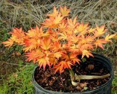 Bonsai Japanese Maple - Aratama