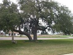 How to Trim a Live Oak Tree