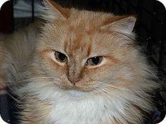 Stafford, VA - Maine Coon. Meet Inez, a cat for adoption. http://www.adoptapet.com/pet/16426808-stafford-virginia-cat